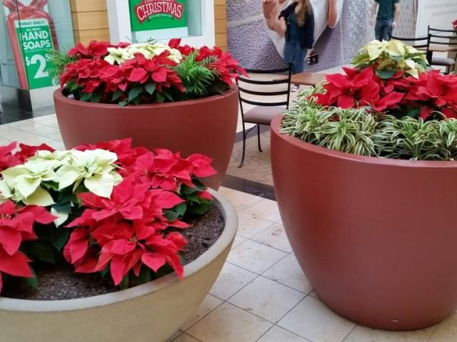 Poinsettias: have pet Toxins according to Veterianrians & the ASPCA